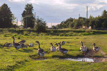 Group of adult geese grazing in a meadow on a sunny day