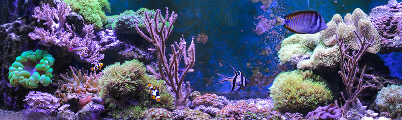Foto op Plexiglas Onder water Reef tank, marine aquarium full of fishes and plants. Tank filled with water for keeping live underwater animals. Gorgonaria, Clavularia. Zoanthus. Zebrasoma. Percula. Oxycirrhites typus, Bleeker.