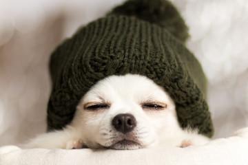 チワワの冬のお昼寝