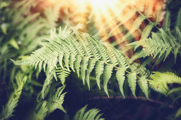 Tropical Fern leaves with sunbeam,  nature background