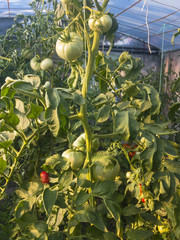 Green tomatoes on a house garden