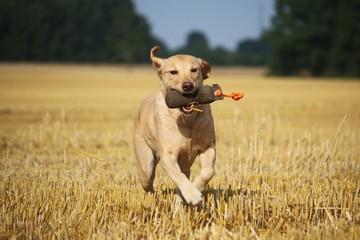 labrador mit einem spielzeug auf dem stoppelfeld