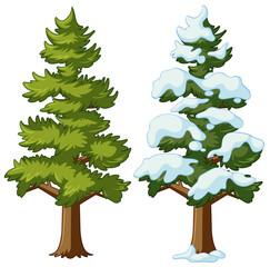 Pine tree in two seasons