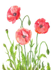 Three garden poppies in watercolor. Composition of field red flowers. Botanical illustration on white background. Hand drawn art