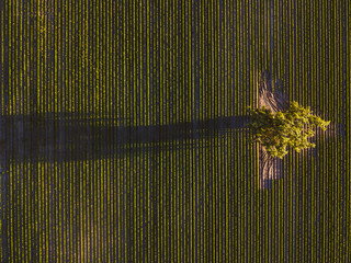 Drone aerial view of carrots field, sunset moment