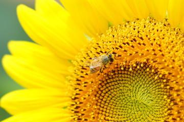 佐用町 南光ひまわり畑 ひまわりとミツバチ