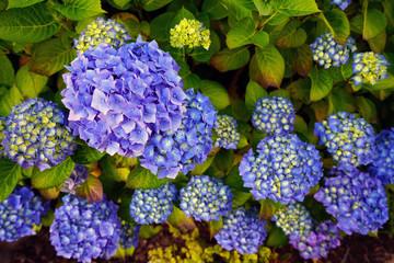 Purple blue heads of hydrangea flowers