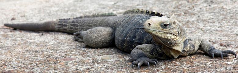 big varan reptile close look wild life animal nature Wall mural