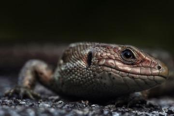 Viviparous lizard or common lizard, Zootoca vivipara
