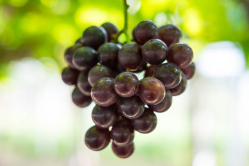 Grape fruit on tree in the graden , blurred background