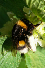 Macro yellow bumblebee Bombus collecting pollen and nectar