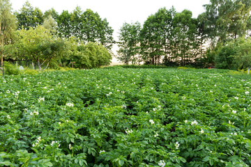 Flowering potato field.