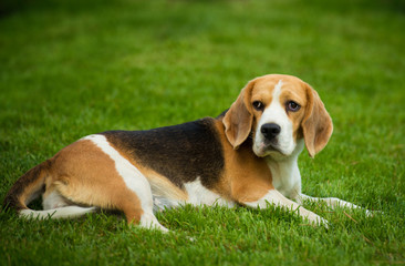 A beagle dog lying on a green grass