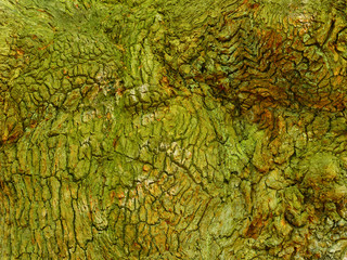 Close up of a section of moss and lichen covered oak tree bark