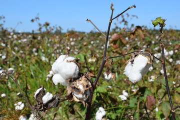 Cotton field in the south