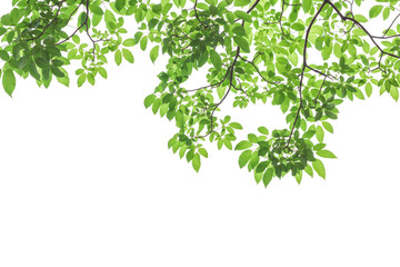 Wall Mural - Green leaves isolated on white background