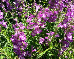 Bell-Shaped Purple Blossoms