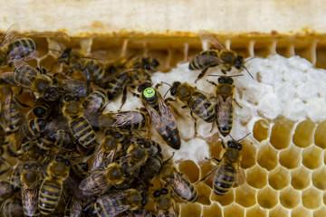 Queen bee among bees