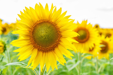 The flowers of sunflower .