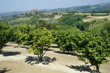 Field with hazelnuts