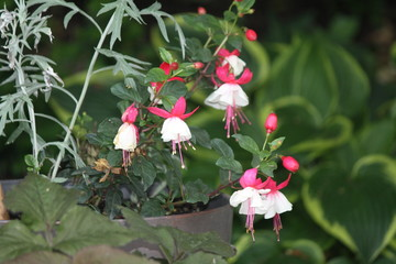 Ornamental Fuchsia plant with hanging red and white flowers.