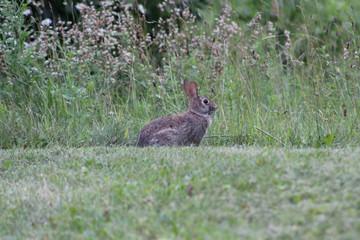 Un petit lapin