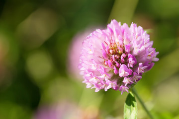 Close up of a Red Clover flower with green blurry background.