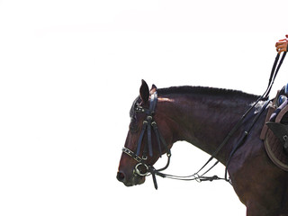 Rider rides a horse, isolated on a white background. A dark bay horse with a short mane. Backlighting