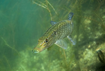 northern pike, esox lucius, czech dive