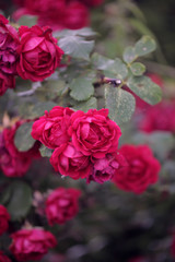 Fototapeta piękne różowe róże na krzewie obraz