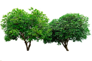 Two green tree isolated on white background.
