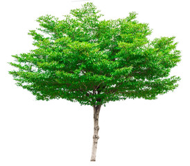 Green tree isolated on white background (Terminalia)