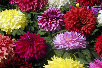 Cadres-photo bureau Dahlia dahlia flower cluster