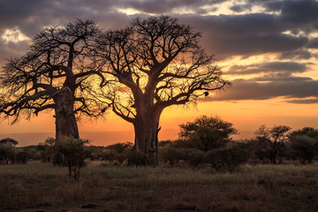Photo on textile frame Baobab Baobab Trees at Sunset, Tanzania
