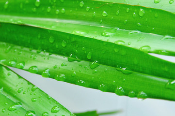 Water drops on green palm leaf