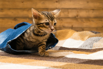 Bengal kitten hid in the pants of blue jeans, against the background of a wooden wall