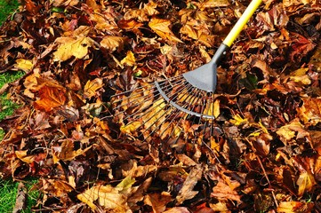 Raking up maple leaves in the Autumn, UK.