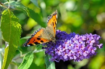 Small Tortoiseshell butterfly sitting on a Buddleja flower, UK.