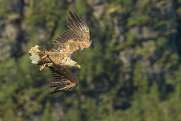 Hunting White Tailed Eagle.