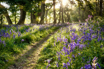Sunrise through bluebell woodland