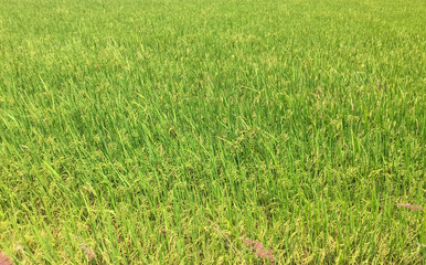 Rice field at sunny day