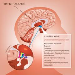 Hypothalamus Vector Image