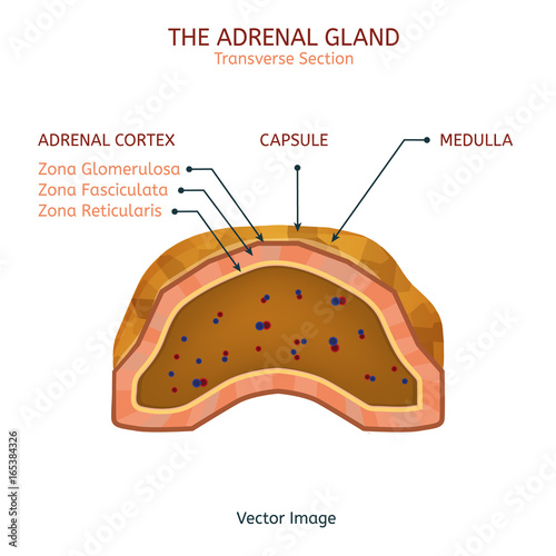 Adrenal Gland Image Stock Image And Royalty Free Vector Files On