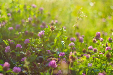 Meadow of beautiful clover flowers for luck, selective focus and shallow depth of field