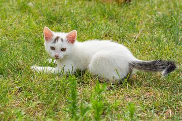 Lovely white kitten lying in the grass