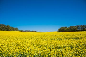 絶景、菜の花畑 / 下北半島の菜の花畑は5月初旬に満開となる。