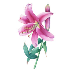 Close-up of a pink lily flower. Watercolor hand drawn painting illustration, isolated on white background.