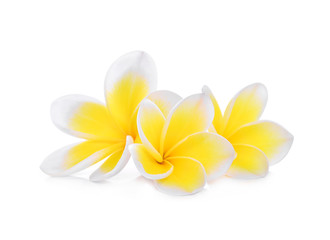 white frangipani (plumeria) flower isolated on white background