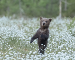 Brown Bear cub standing in the middle of the cotton grass in a Finnish bog