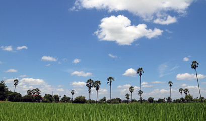 View Beautiful of blue sky and Rice field landscape with sugar palm. the landscape is all the visible features of an area of countryside or land, often considered in terms of their aesthetic appeal.